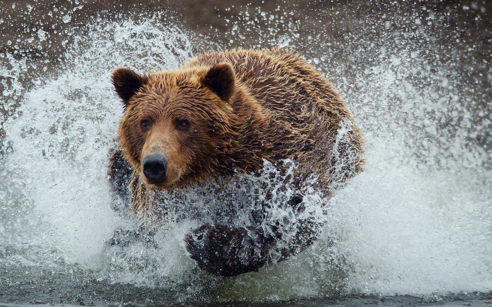 wallpaper-of-a-brown-bear-running-through-water-hd-bears-wallpapers